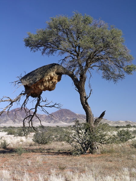 There aren't many trees in this part of Namibia . This communal birds-nest weighs down the chosen branch .
