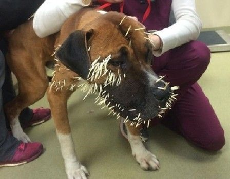 Tragic good-bye to dog who was struck by hundreds of porcupine quills