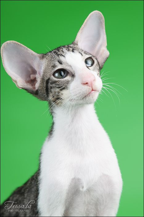 Bi-colour tabby oriental cat   ...........click here to find out more     http://googydog.com