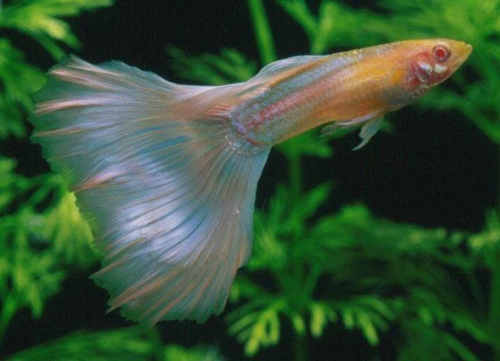 guppy fish..