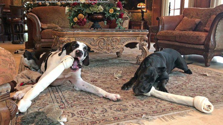 Great Danes Really Love Their New Jumbo Dog Bones Great