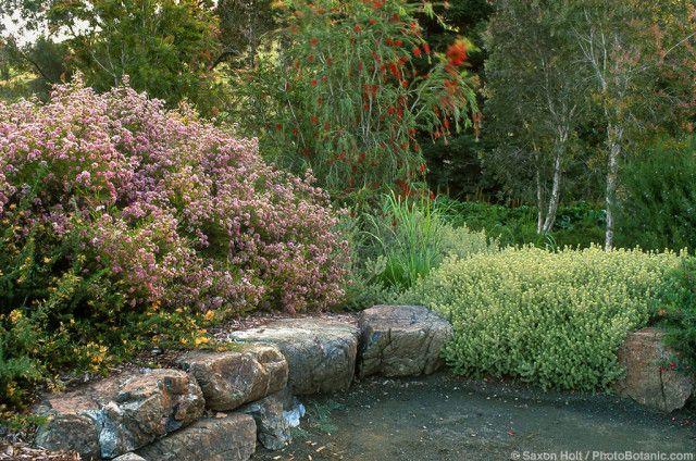 Summer-dry, drought tolerant Australian native plants by stone wall in California garden using Chamelaucium, Westringia, Melaleuca, Callistemon
