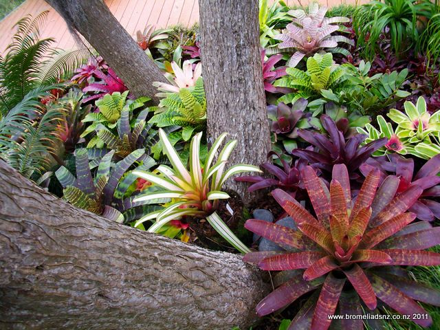 Gallery | Lovely colourful display of bromeliads