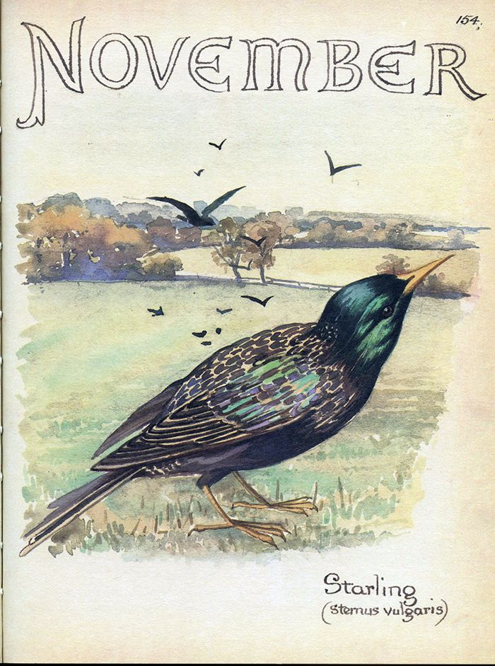 Starling - Morning Earth Artist/Naturalist Edith Holden