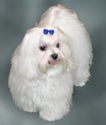 Maltese Adult Dogs Maltese cutties