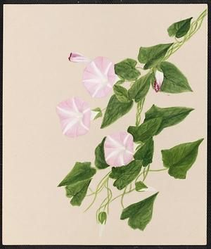 From the collection at Andersen Horticultural Library. Emma Roberts (1859-1948), a watercolorist from Minneapolis, founded the Handicraft Guild, and was supervisor of drawing for Minneapolis Public Schools. Emma painted Calystegia sepium (Hedge Bindweed) in Minneapolis. It is dated July 13, 1883.