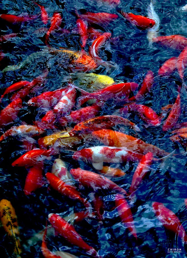 68 best koi images on pinterest koi ponds pisces and for Exotic koi fish