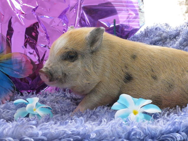 teacup-pigs-for-sale