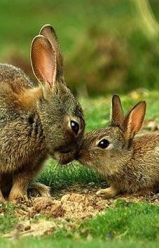 Kissing rabbits
