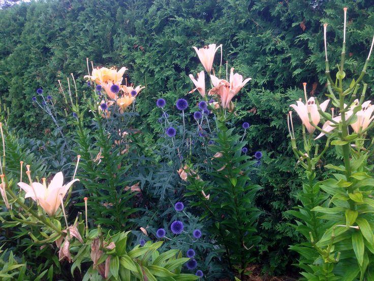 Echinops bleus/mauves
