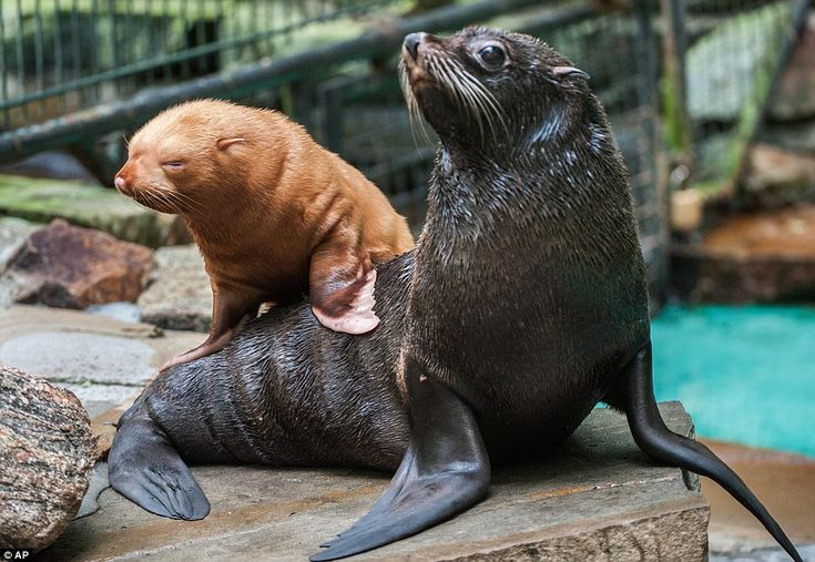 Albino seal with his mum in Dortmund Zoo, Germany