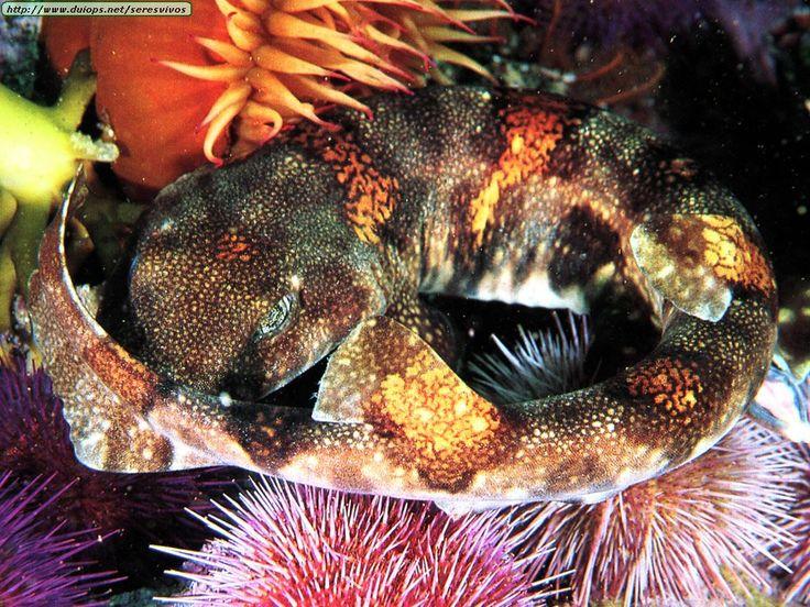 Puffadder Shyshark (Haploblepharus edwardsii)