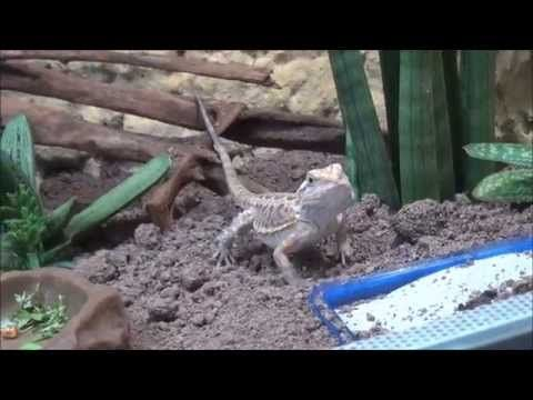 Bartl - A Bearded Dragon and its 4 Star habitat/vivarium - YouTube