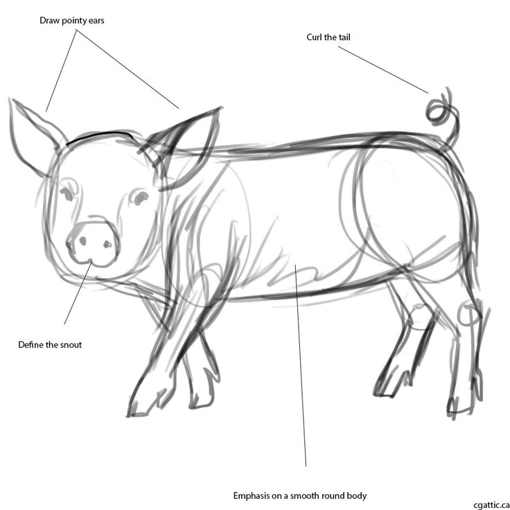 How to draw a pig step 1: use a simple round brush to sketch out the general shape of the pig. I would focus on the round body, pointy ears, and cylindrical snout. Even though there are very little depictions in the way of muscles, the flow points connecting every part of the pig should be considered as you want to imagine the muscles underneath the fat.