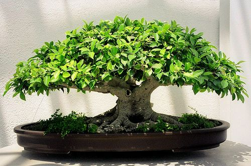 Tiger Bark Ficus Bonsai, Washington, DC | Flickr - Photo Sharing!