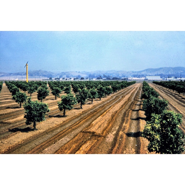 Remembering the days there were orange groves in Orange County,  CA