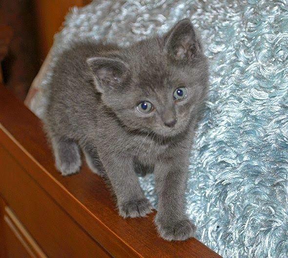 Imagenes de gatos - gatitos: Imagen hermoso gatito gris ojos azules  [19-1-17]