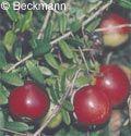 Die Inhaltsstoffe von Preiselbeere und Cranberry sind ähnlich. Beide enthalten viel Pektin, Fruchtsäuren, Phenole und Flavonoide, sowie Vitamin A. Die Cranberry enthält mehr Eisen und Vitamin C als die Preiselbeere. Der Saft der Beeren wird aufgrund antiviraler, bakterizider und fungizider Wirkstoffe erfolgreich gegen Blasenleiden und Harnwegsinfektionen eingesetzt.