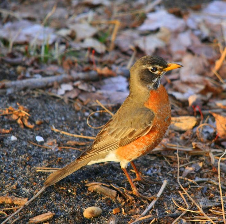 15 Best Michigan Birds Images On Pinterest