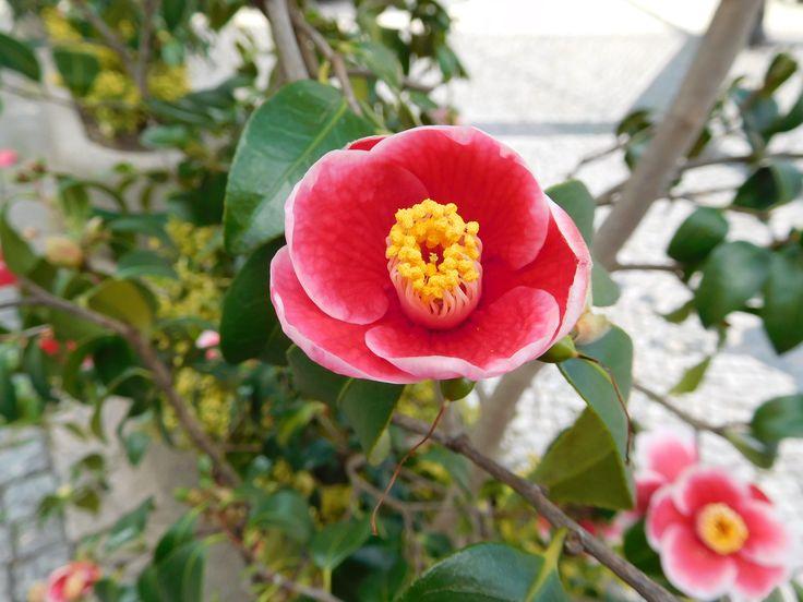 Camellia L.