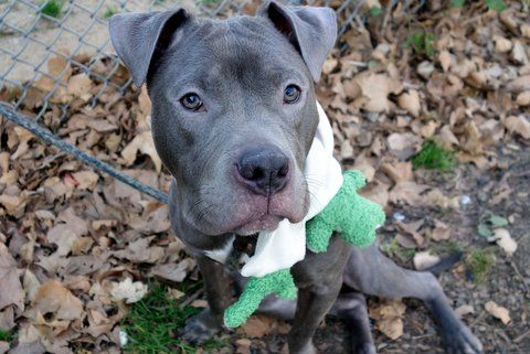 SPIKE - A1097568 - - Manhattan  Please Share:TO BE DESTROYED 12/01/16   A volunteer writes: I believe in love at first sight, and that's how it was with me and Spike. What a great dog! Quietly waiting in his kennel, his soft face and expressive eyes were all it took…he's gorgeous with a capital GORGEOUS with a sweet, gentle personality to match. His leash manners are great, he quickly takes care of his business the moment we're out the door, and we e