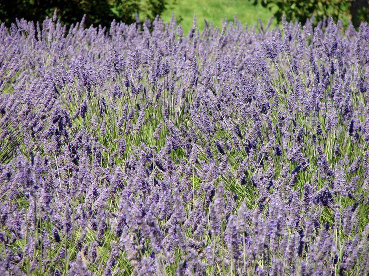 Lavendar garden.: Simple Life, Floral Design, Lavender Garden Ahhhh, Gardening Ideas, Lavendar Garden