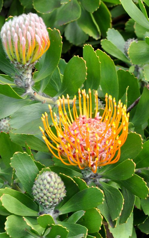 """speldekussing"" protea. City Sightseeing South Africa Travel Blog 