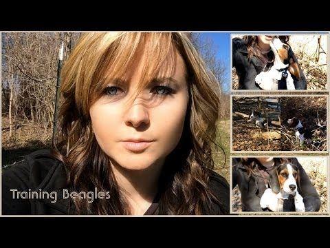 Adoptable Beagle Training Beagle Puppies To Hunt Rabbit Beagle