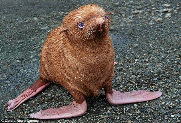 heart breaker: Little Red, Red Hair, Sea Lion, Islands, Baby Animal, Blue Eye, Seals Pup, Gingers Seals, Baby Seals