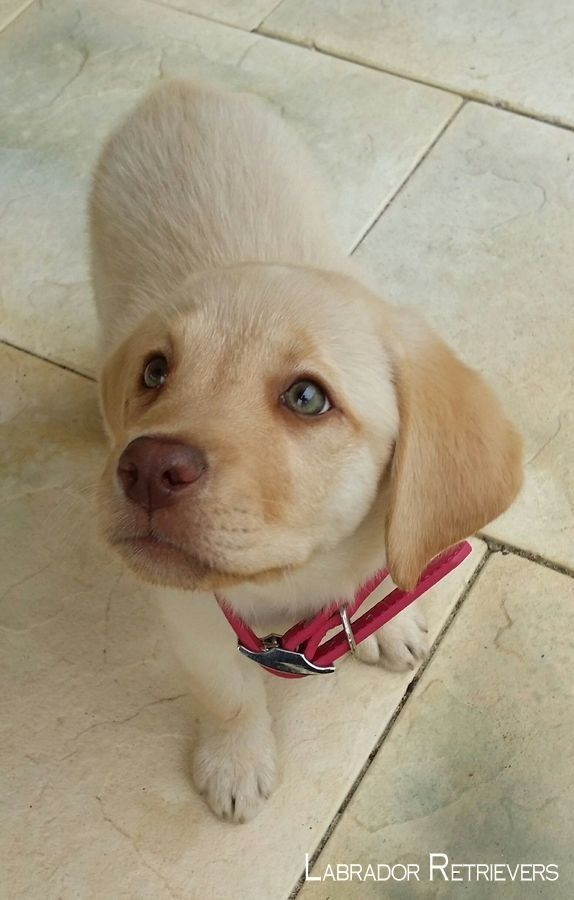 Pin By Lihi Levy On The Dogs Labrador Retriever Dudley Labrador Lab Puppies