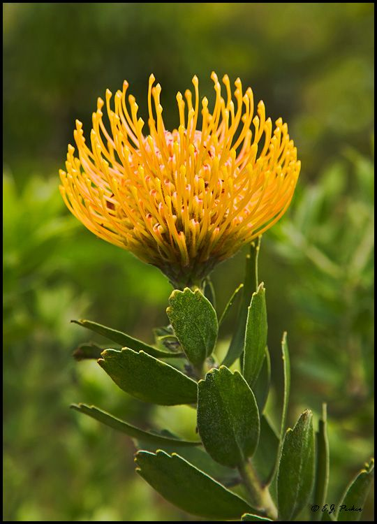 Pincushion Protea makes beautiful cut flower single stem arrangements for the rooms.  www.theblinkwater.com