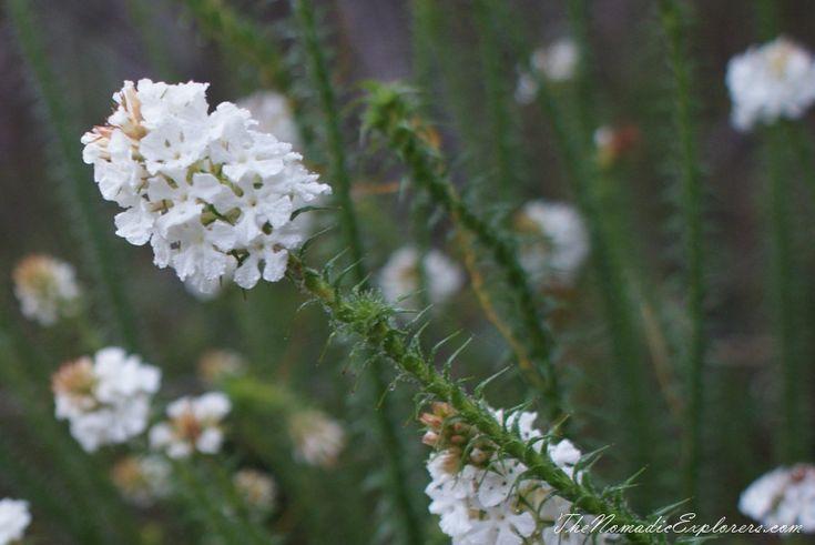 Western Australia Trip. Day 5. Stirling Ranges National Park - Bluff Knoll Walk. Wildflowers | TheNomadicExplorers.com