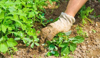 Fabriquer son désherbant vaporiser du vinaigre blanc non dilué directement sur les pousses des mauvaises herbes. Cette solution, ne coute que quelques centimes.