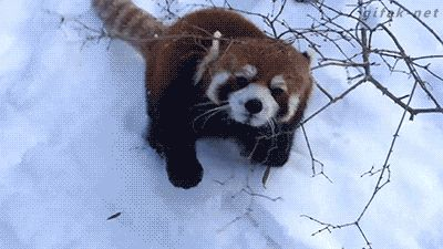 "via GIPHY | ""I'm gonna get ya! No, I'm gonna roll around in the snow! No, I'm gonna get ya!"" Red pandas have a very short attention span."