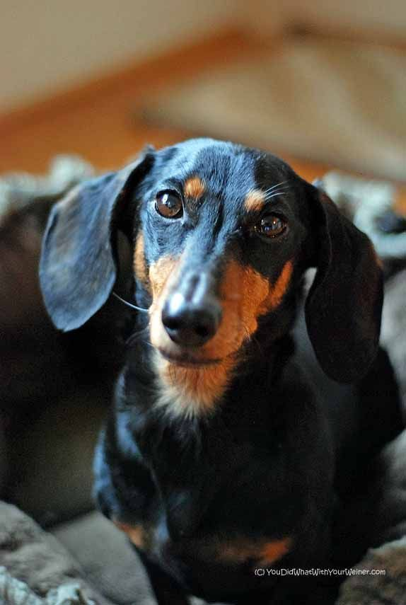 Pin By Kathy On Dachshund Wire Haired Dachshund Cute Dog