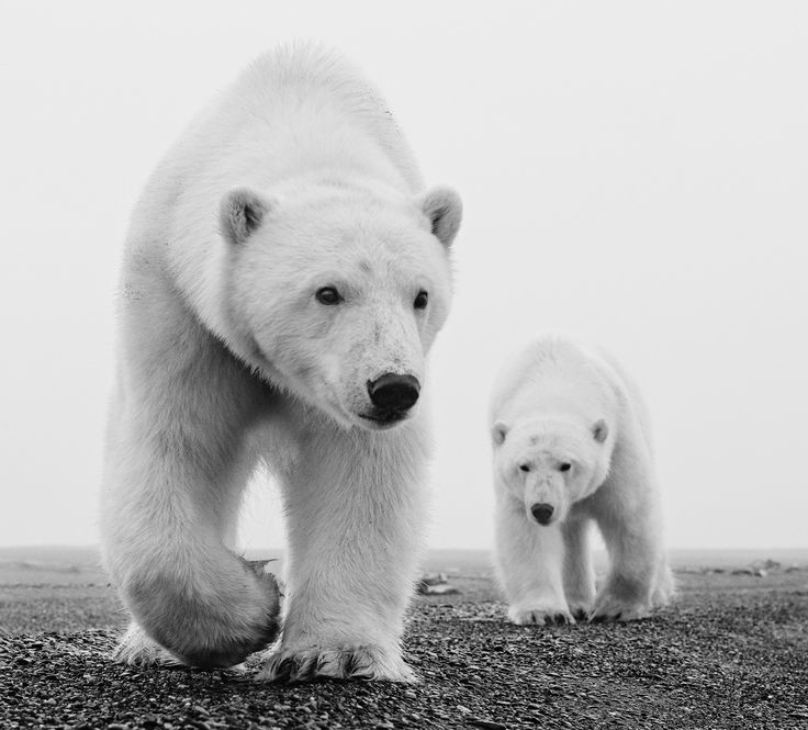 "David Yarrow | Kaktovik  315gsm Hahnemühle photo rag Baryta paper  Standard 37 x 41"" Unframed / 52 x 56"" Framed Editions of 12  Large 56 x 62"" Unframed / 71 x 77"" Framed Editions of 12  For questions or prices please contact us at info@igifa.com    IGI FINE ART"