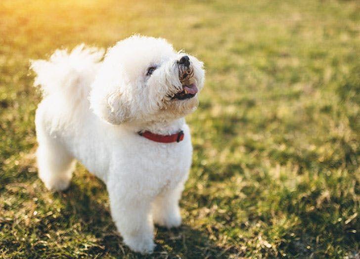 46 Small White Dog Names Dog Names White Dogs Small Dog Names