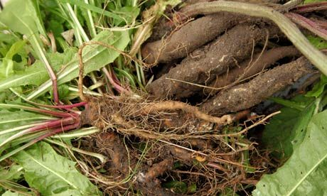 """How to make dandelion and burdock beer    Dig for victory and your reward will be a very British root beer. John Wright - Word of Mouth Blog. Just be aware that """"Burdock roots are tough, go down a long way in several directions at once and are particularly fond of soil rich in immoveable rocks."""""""