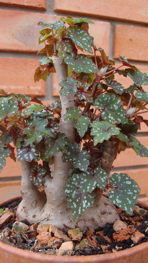 A Portion Of Begonia Dregei Seeds Easy To Grow Houseplants