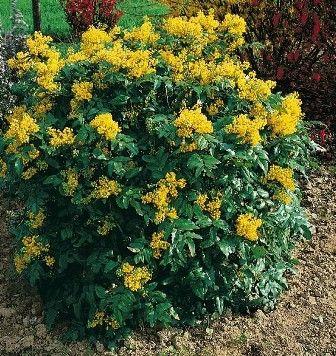 Mahonia aquifolium - Közönséges mahónia
