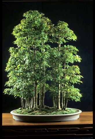 """Bonsai of Warren Hill-  my fav are these maples in groves.  My collected maple grove was 8 years old and looked """"young"""" but in this configuration naturally! When my Jessie died, D did not water my 25 potted collection and most died....tragic all the way around.... xoxo my JLC   Mom"""