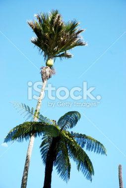 Nikau Palm and Ponga Treefern, New Zealand Royalty Free Stock Photo