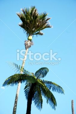 Nikau Palm and Ponga Treefern, New Zealand Royalty Free Stock Photo
