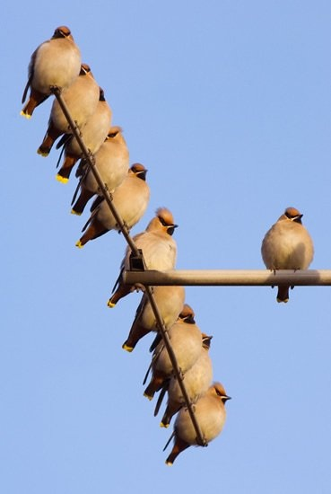 Wonderful wintery waxwings. Photo by Andrew Parkinson (rspb-images.com) #nature #birds #waxwings