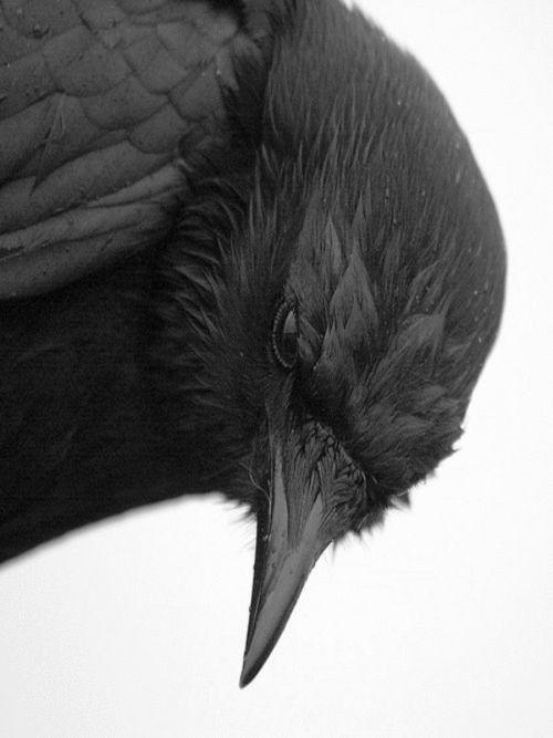 Corbeau                                                       …