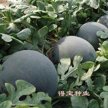 Black Beauty Watermelon Taiwan Big Fruit Black Beauty Watermelon Field Vegetable Seeds Fruit Seeds High Sweetness 30Seeds(China (Mainland))