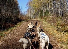 What is Urban Mushing And Can My Dog Do It?