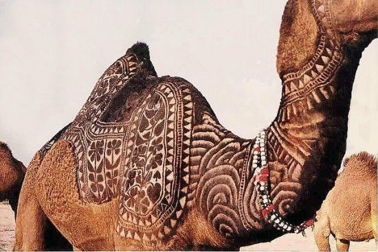 unique animal art at the Bikaner camel festival - artists transform their camels into breathing works of art, by shaving their coats to make room for traditional Indian patterns