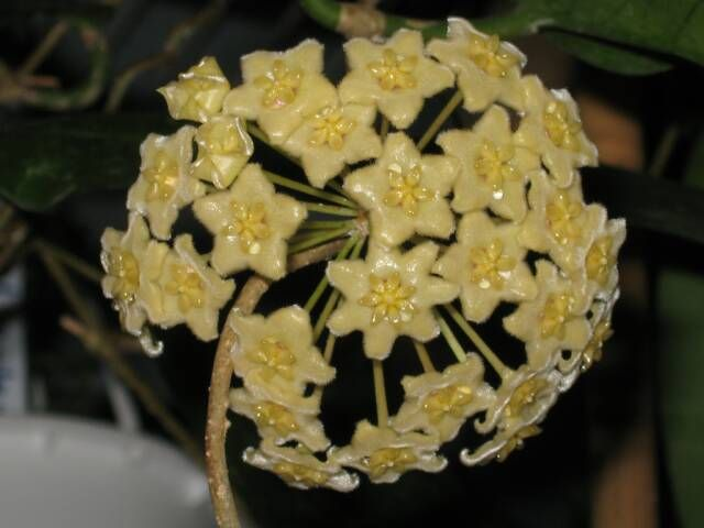 12 best images about hoya plants on Pinterest | For sale ...