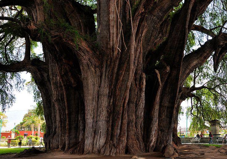 Die Mexikanische Sumpfzypresse Árbol del Tule, die in Oaxaca (Mexiko) steht, ist mit 46 Metern Umfang der dickste Baum der Welt.  Thickest Tree of the world: Oaxaca, Mexico circumference: 46 meter